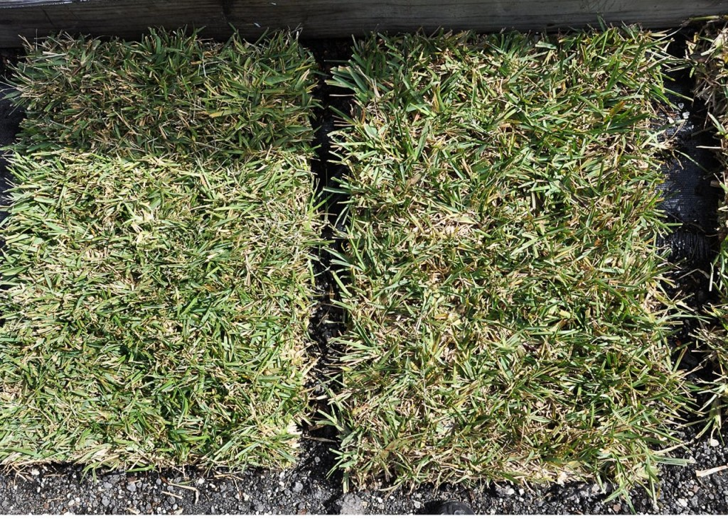 This Is The Easiest Maintenance Gr That Has Best Drought Tolerance And Pest Resistance Other Type Of Sod We Have But Needs To Be Special